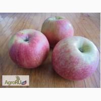Яблоки сорт Уэлси