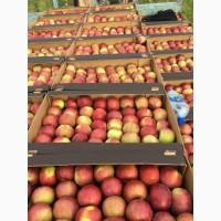 Яблоко оптом из РБ 1 категории