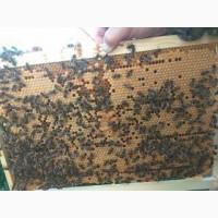 Пчелопакеты-СПб: карпатка, карника