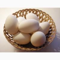 Гусиные яйца Линдовской породы инкубационные оптом