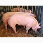Свиньи 80 - 130кг (2-Х породка)