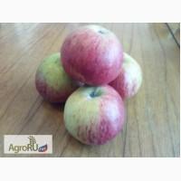 Яблоки сорт Память Мичурина