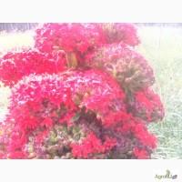 Продам зрелые семена лихниса халцедонского (зорьки обыкновенной или зорьки красной)