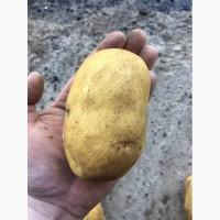 Картофель под мойку сорт Джели