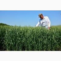 Семена озимой пшеницы Тимирязевка 150 ЭЛИТА ОТ ПРОИЗВОДИТЕЛЯ