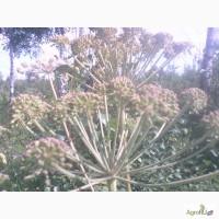 Продам зрелые семена дудника (дягиля) лесного (дикого ангельского корня)