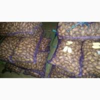 Предлагаем продовольственный картофель, сортов Удача и Рамаз оптом от фермера