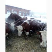 Продам бычков мясной породы