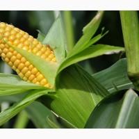 Семена кукурузы Зерноградская 282, Зерноградская 354