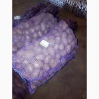 Продаем картофель продовольственный сорт Гала