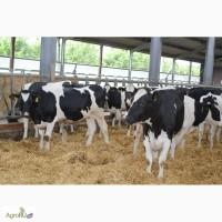 Племенной скот Голштино - Фризская порода молочного