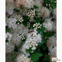 Пчелы пчелопакеты Краинка Карпатка Санкт-Петербург 2017