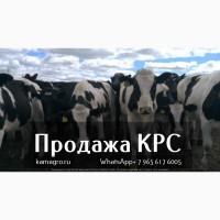 Продажа племенных пород КРС по РФ и СНГ