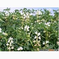 ООО НПП «Зарайские семена» продает люпин сорт Дега на кормовые цели
