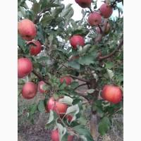 Яблоки, сортовые, оптом