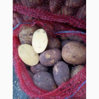 Картофель сорт Гала калибр 5+ крупный и мелкий опт от производителя НСО село Быково