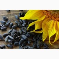 Семена подсолнечника Неома под Евролайтинг