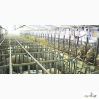 Станки для искусственного осеменения и содержание супоросных свиноматок