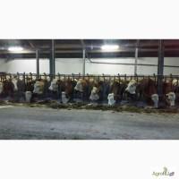 Племенной скот Симментальская порода молочно-мясного