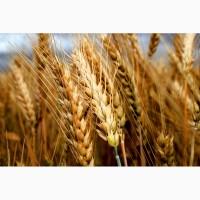 Семена озимой пшеницы сорт Гром