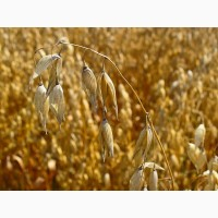Семена ярового овса Валдин-765, Конкур