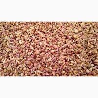Семена чеснока воздушной бульбочки