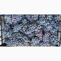 К оптовой продаже по цене от производителя готов виноград высокого качества Чарос