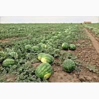 Продаем арбузы оптом Краснодарский край, арбузы оптом Краснодар (урожай 2019 года)