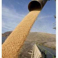 Пшеница продовольственная 4 класс (мягкая, мукомольная) на экспорт