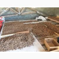 Продам орех Грецкий целый в скорлупе