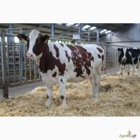 Племенной скот Красная Голштинская порода молочного