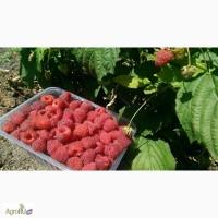 Продается ягода малины замороженная. Ремонтантных сортов. Оптом