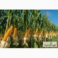 Семена гибриды кукурузы Pioneer П8400 (ФАО 270)