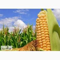 Гибриды семена кукурузы ПР39Д81 ФАО260 (Пионер)