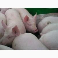 Продам свиней живым весом на забой