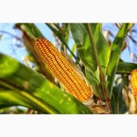 Семена кукурузы Краснодарский 194, Краснодарский 291, Краснодарский 385 и др