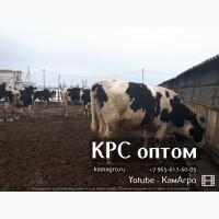 Продам племенной скот черно-пестрой породы
