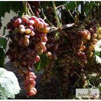 Саженцы и черенки винограда самых надежных сортов