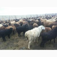 Продаем овец, барашков живым весом