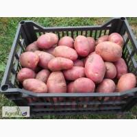 Продам срочно оптом картофель Скарлет