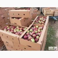Яблоки оптом 65+ от производителя 36 руб. / кг