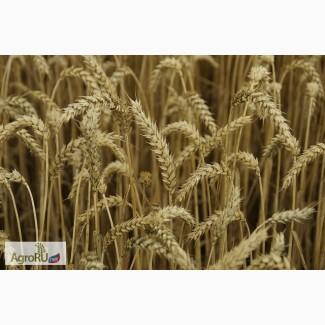 Продаём семена озимой пшеницы Юмпа