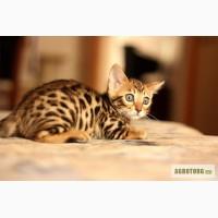Бенгальские котята пятно-розетка на золоте