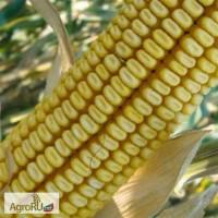 Семена кукурузы ДКС 3705 ФАО300