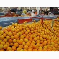 Продажа Клементинов, Мандаринов (Марокко)