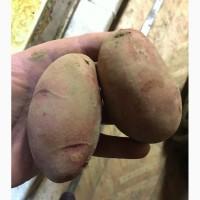 Продажа картофеля. Опт от 20 тонн