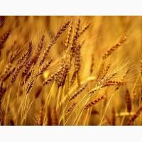 Семена ржи многолетней и озимой