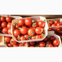 Выгодная продажа помидоров Сабина оптом