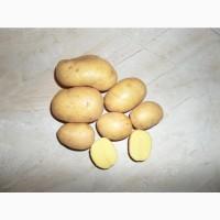 Семенной картофель сорт Вега