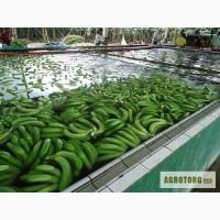 Свежие бананы оптом из Эквадора.